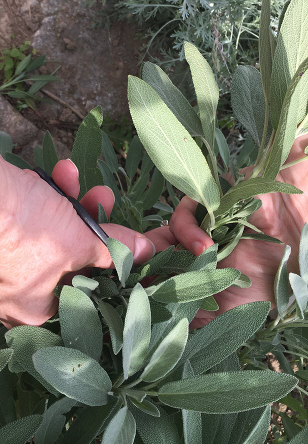 Gather sage from the garden
